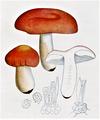 Bresadola - Russula emetica.png