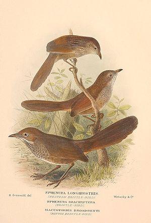 Bristlebird - Western, eastern and rufous bristlebirds