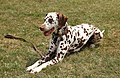 British Dalmatian Welfare Annual Fun Day- Bellingdon, Bucks- 01-July 2018 - 42417984054.jpg