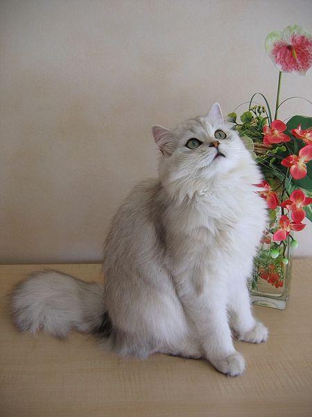 От .  Британские длинношерстные кошки (British Longhair), Хайлендер...