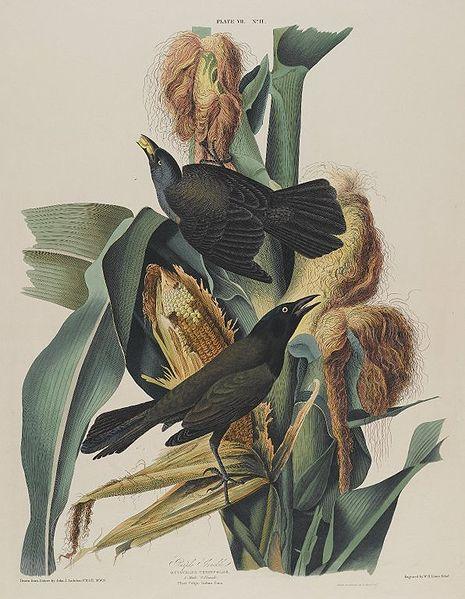 File:Brooklyn Museum - Purple Grackle - John J. Audubon.jpg