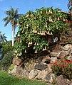 Brugmansia versicolor 1.jpg