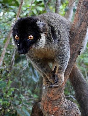 Common brown lemur - Image: Bruine maki Vakona eiland 04