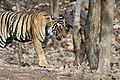 Bubbly, Female Tiger (7168441863).jpg