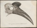 Bucorvus abyssinicus - schedel - 1796-1808 - Print - Iconographia Zoologica - Special Collections University of Amsterdam - UBA01 IZ19300151.tif