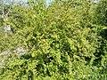 Budai Arborétum. Felső kert. Kantoni gyöngyvessző (Spiraea cantoniensis). - Budapest XI. kerület.JPG