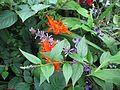 Buddleja lindleyana, Crocosmia masoniorum ^ Clematis x diversifolia Hendersonii - Flickr - peganum.jpg