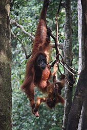 A mother orangutan with her offspring