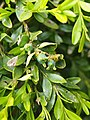 Buxus microphylla Bukszpan drobnolistny 2019-04-28 03.jpg