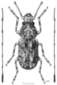 COLE Anthribidae Phymatus phymatodes m.png