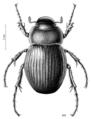 COLE Scarabaeidae Prodontria lewisii.png