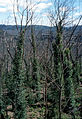 CSIRO ScienceImage 2977 Epicormic Regeneration on Eucalypts Blue Mountains NSW.jpg