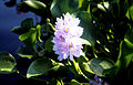 CSIRO ScienceImage 3281 Water hyacinth and flower.jpg