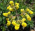 Calceolaria salicifolia (8424460697).jpg