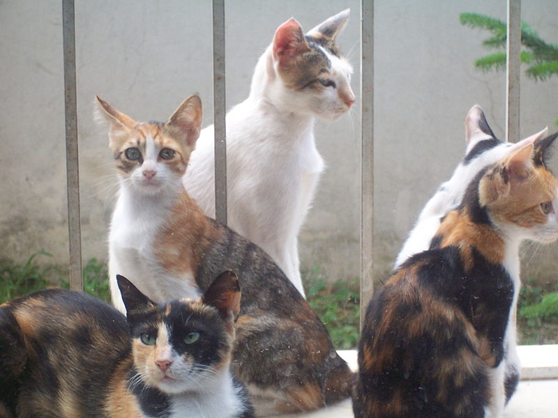 Datei:Calico cats.jpg