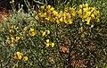 Calicotome villosa 2 RF.jpg