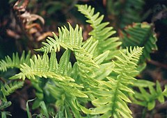 Polypodium californicum