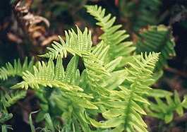 Polypodium californicum}}