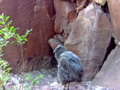 California condor chick -871 at seventy days old. (39525930691).png
