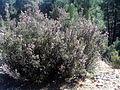 Calluna vulgaris Habitus 2010-4-02 SierraMadrona.jpg