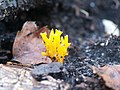 Calocera cornea in the woods at Woodhall Spa - geograph.org.uk - 471543.jpg