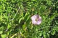 Calystegia sepium roseata R.Br. (AM AK355649-2).jpg