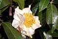 Camellia japonica Silver Waves 0zz.jpg