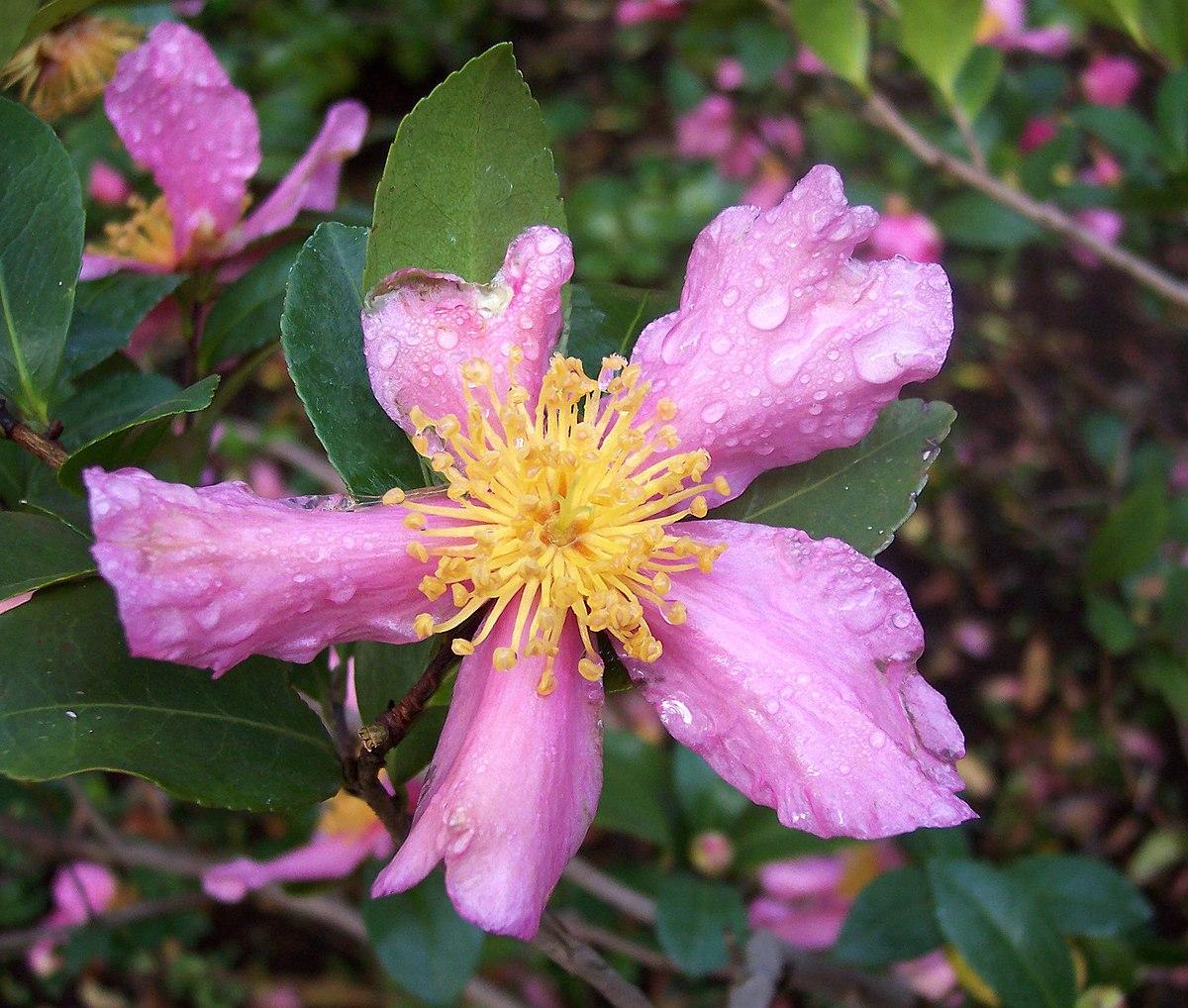 Camellia sasanqua wikispecies for Camellia sasanqua