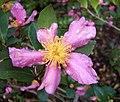Camellia sasanqua RJB.jpg