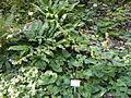 Campanula alliariifolia - Botanischer Garten, Frankfurt am Main - DSC02553.JPG
