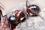 Camponotus obscuripes DSC 0417.jpg