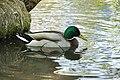 Canard colvert mâle (Anas platyrhynchos) (7).jpg