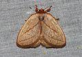 Cania (Minicania) minuta Holloway, 1986 (Limacodidae) (22929652485).jpg