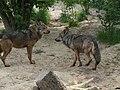 Canis lupus signatus (Kerkrade Zoo) 07.jpg