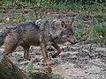 Canis lupus signatus (Kerkrade Zoo) 30.jpg