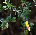 Cantua buxifolia 05.jpg