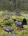 Capercaillie from the Crossley ID Guide Britain and Ireland.jpg