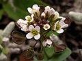 Capsella bursa-pastoris (7136787497).jpg