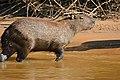 Capybara (Hydrochoerus hydrochaeris) (29132323965).jpg