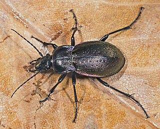 Carabinae Subfamily of beetles