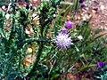 Carduus tenuiflorus CloseupCampodeCalatrava.jpg