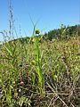 Carex bohemica sl11.jpg