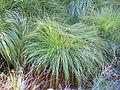 Carex divulsa subsp. leersii Habitus 2011-6-23 SierraMadrona.jpg