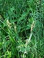 Carex hartmanii.JPG