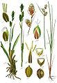 Carex spp Sturm38.jpg