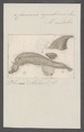 Carinaria cymbium - - Print - Iconographia Zoologica - Special Collections University of Amsterdam - UBAINV0274 080 12 0013.tif