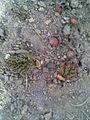 Caryophyllales - Rheum rhabarbarum 01.jpg