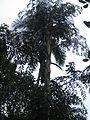 Caryota urens - ചൂണ്ടപ്പന 03.JPG