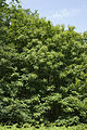 Castanea sativa sabliere-fere-en-tardenois 02 24062008 01.jpg