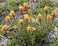 Castilleja peirsonii Peirsons paintbrush yellow clump.jpg